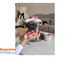 Francuski buldog egzotični štenci - Fotografija 9/10
