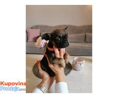 Francuski buldog egzotični štenci - Fotografija 10/10