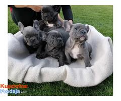 Francuski buldog blue štenci - Fotografija 1/5