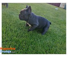Francuski buldog blue štenci - Fotografija 2/5