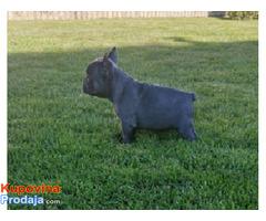 Francuski buldog blue štenci - Fotografija 4/5
