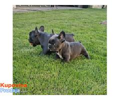 Francuski buldog blue štenci - Fotografija 5/5