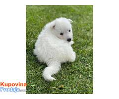 Beli Švajcarski ovčar, štenci - Fotografija 2/6