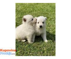 Beli Švajcarski ovčar, štenci - Fotografija 3/6