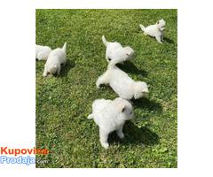 Beli Švajcarski ovčar, štenci - Fotografija 4/6