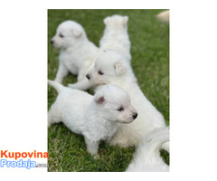 Beli Švajcarski ovčar, štenci - Fotografija 6/6