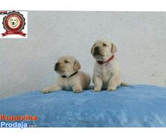 Labrador retriver stenci - Fotografija 3/5