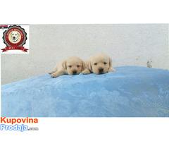 Labrador retriver stenci - Fotografija 4/5