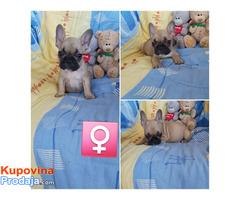 Francuski buldog - štenci na prodaju