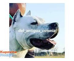 Dogo Argentino, stenci