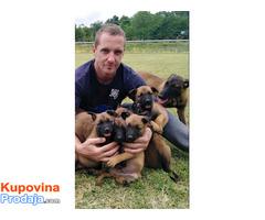 Belgijski ovčar MALINOA štenci - Fotografija 1/8
