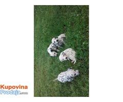Štenci dalmatinca na prodaju