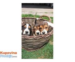 Na prodaju štenci baseta