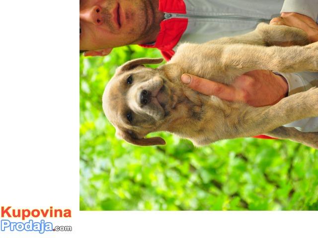 Srpski Odbrambeni Pas - stenci na prodaju