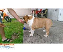 Engleski buldog, pas vrhunskog kvaliteta