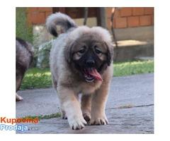 Kavkaski ovčar, ženski štenci